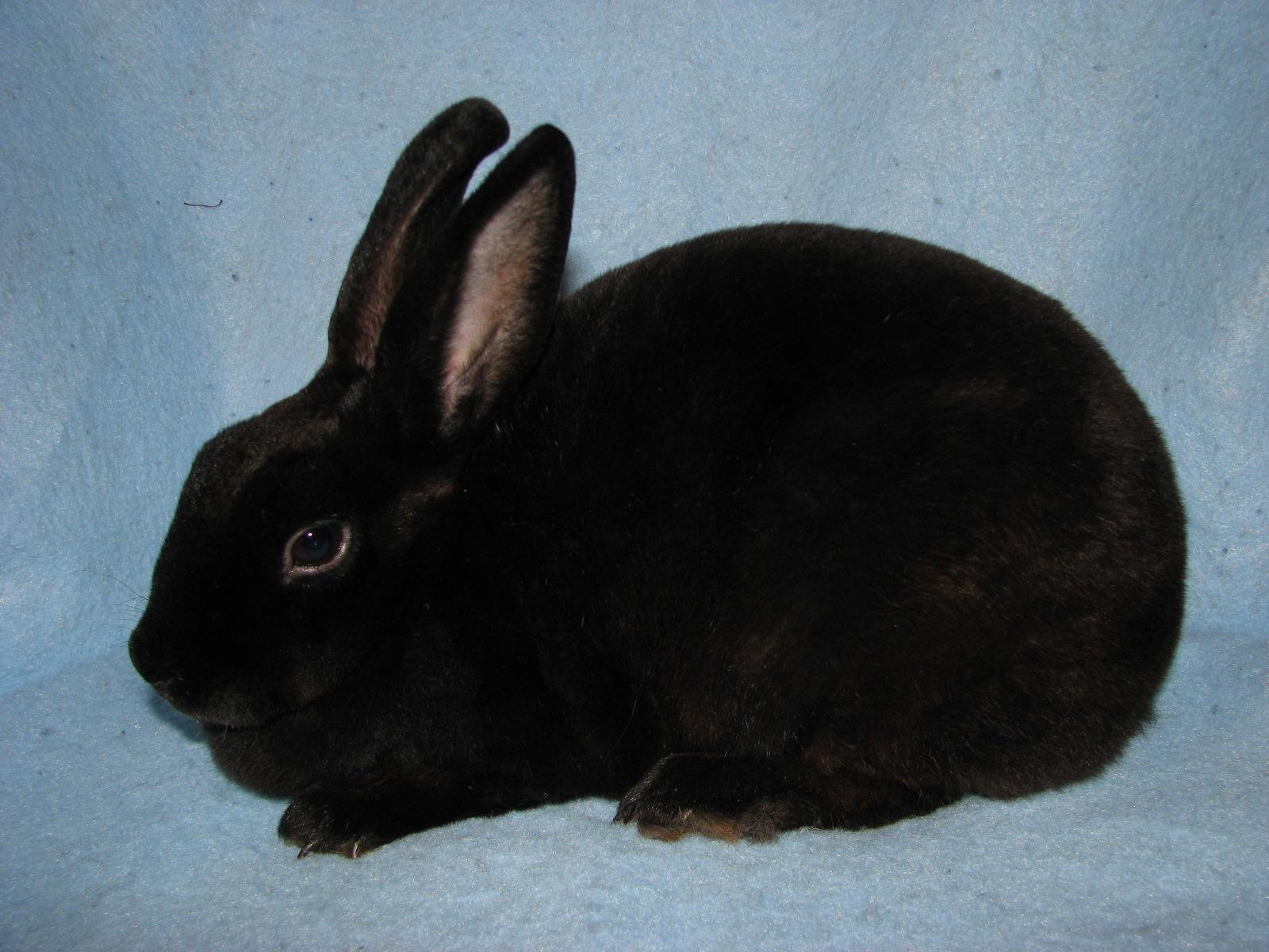Foxaway s BlackberryBlack Mini Rex Rabbits