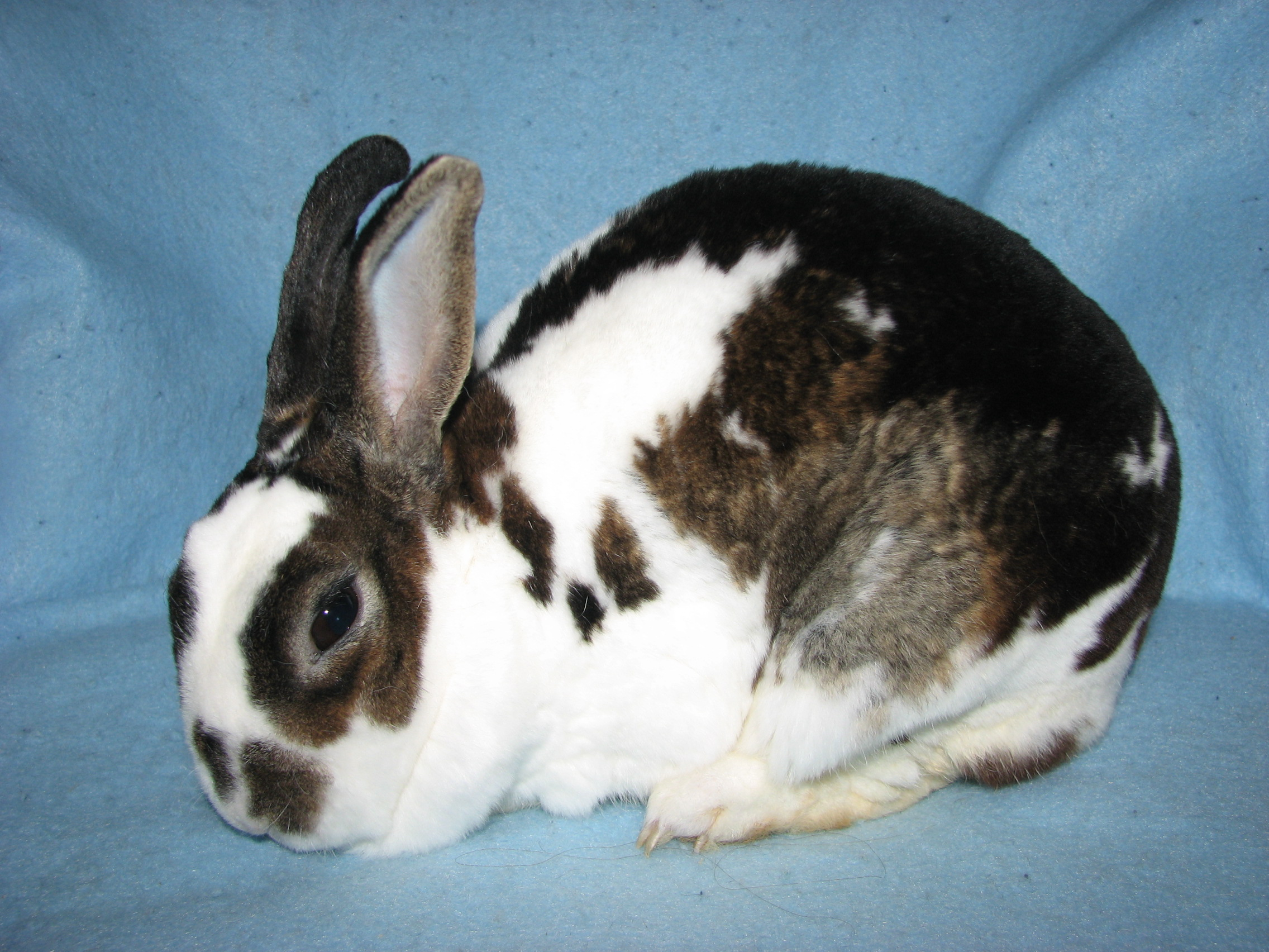 Foxaway Rabbits-My Mini Rex Herd
