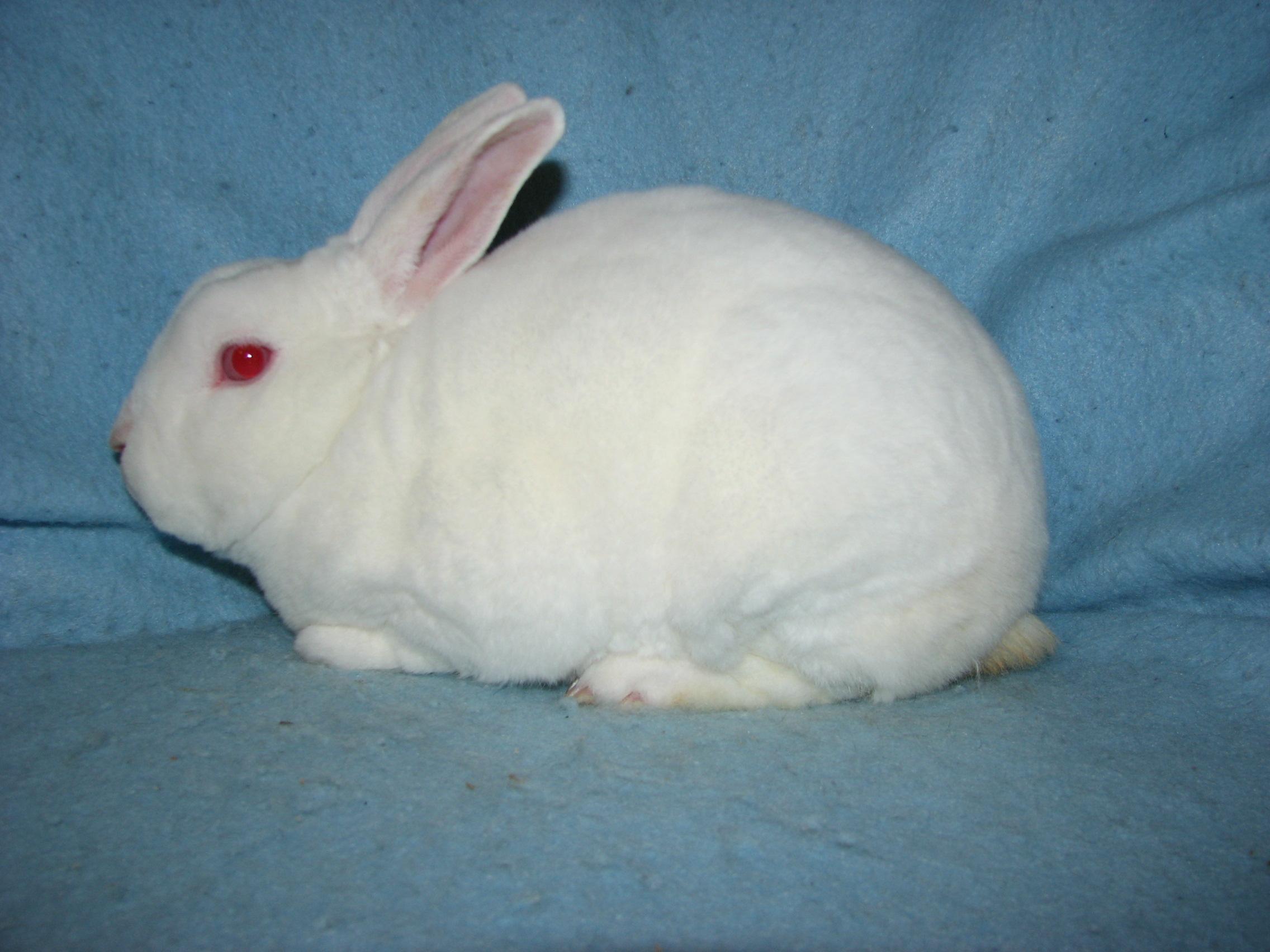 White Mini Rex Rabbits | www.pixshark.com - Images ...